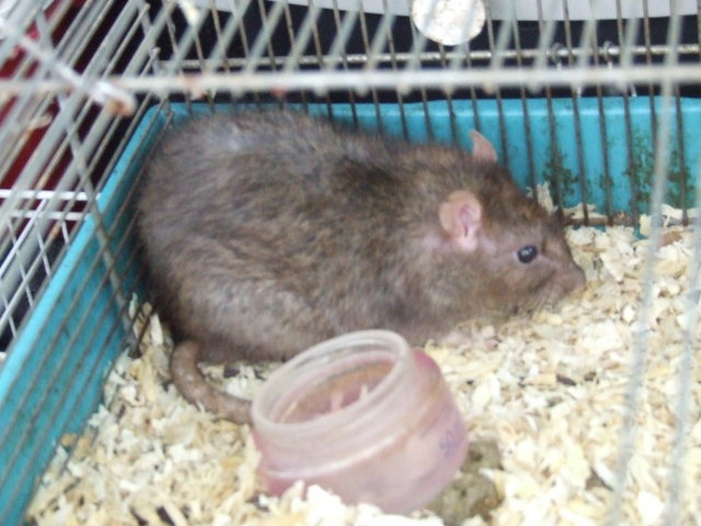 hamsters gros sos dans le 13. Black Bedroom Furniture Sets. Home Design Ideas