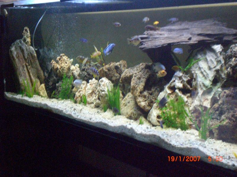mon aquarium de 600 litres cichlidé africain - Page 1