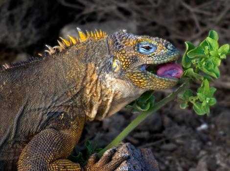 iguana10.jpg